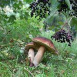 Pilz Bayerischer Wald
